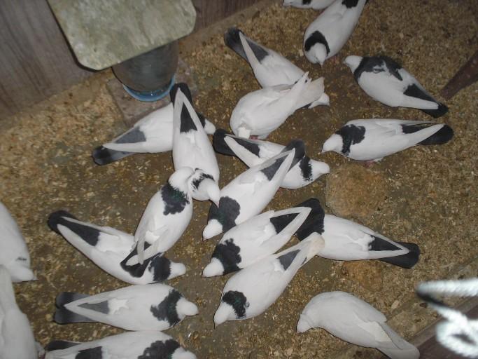 Андижанские голуби